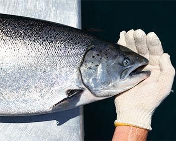 salmon cultivo