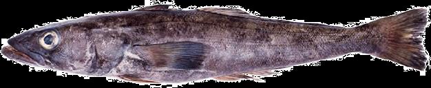 balacao-dissosticus-eleginoides